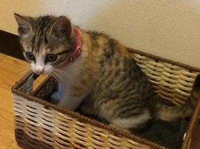 迷子の猫を保護しています ~ 防府市