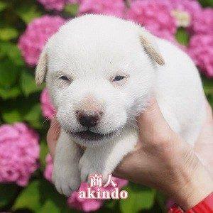 No.D483   1ヶ月位 白毛 男の子 ご家族決定!!