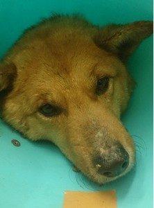 ワイヤー罠で傷ついた野犬、太郎くん
