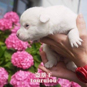 No.D485  1ヶ月位 白毛 女の子 ご家族決定!!
