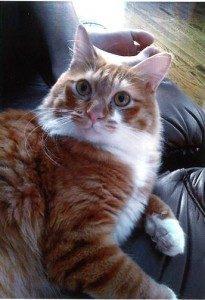 迷子の猫を探しています(岩国市)