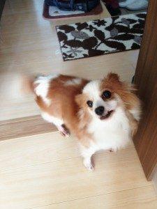 パピヨンの迷子犬が保護されています(防府市)