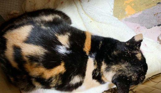 負傷猫さんがいます ( 熊毛郡 平生町 古開作 )→飼い主さんが見つかりました。