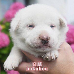No.D481   1ヶ月位 白毛 男の子 ご家族決定!!