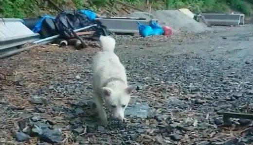 白い犬を探しています→生存確認できました