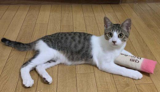 迷子猫さんがいます ( 下関市東亜大学付近 ) → 無事におうちに戻りました。